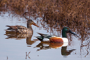 A male and female pair of Northern Shovelers look for food at Squaw Creek National Wildlife Refuge. - Missouri Photograph