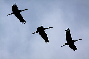 Sandhill cranes soar through the Nebraska sky. - Nebraska Photograph