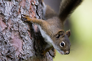 A squirrel watches quietly from the safety of a tree. - Colorado Photograph