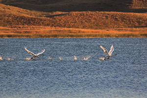 Trumpeter Swans take flight from North Marsh Lake at Valentine National Wildlife Refuge in north central Nebraska. - Nebraska Photograph