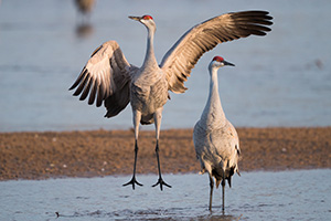 A Sandhill Crane dances on a sandbar on the Platte River in Central Nebraska. - Nebraska Photograph