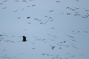 A bald eagle glides across the Platte River in Nebraska startling thousands of Sandhill Cranes. - Nebraska Photograph