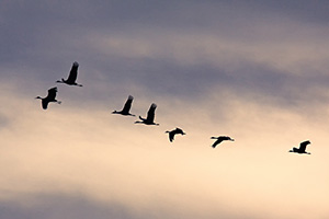 Sandhill cranes soar high while sunset illuminates the clouds behind. - Nebraska Photograph