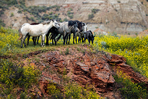 Theodore Roosevelt National Park is one of the few areas in the west where free-roaming horses may be observed. The park maintains a herd of anywhere from 70 to over 100 wild horses so that visitors may experience the area as it was during the open range era of Theodore Roosevelt.   Here, the wild horses stop at a cliff overlooking a small stream at Theodore Roosevelt National Park in North Dakota. - North Dakota Wildlife Photograph