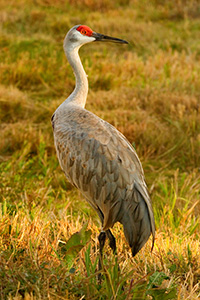 A frequent visitor the sandhills of Nebraska, the Sandhill Crane is an elegant and graceful creature. *Captive* - Nebraska Photograph