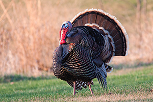 A turkey (tom) displays his plumage for all to see. - Nebraska Photograph
