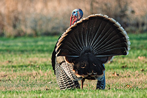 At Mahoney State Park in Eastern Nebraska a turkey (tom) displays his feathers. - Nebraska Photograph
