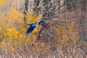 A Blue Heron glides effortlessly through the air. - Iowa Photograph