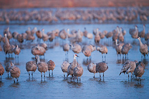 The Sandhill Crane, named for the sandhills of central Nebraska migrates every summer and fall stopping at the Platte River to gain precious pounds for the rest of the journey. - Nebraska Photograph