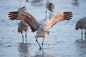 A strutting Sandhill Crane spreads its wings, letting the morning sun filter through the feathers. - Nebraska Photograph
