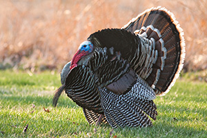 At Mahoney State Park in Eastern Nebraska a turkey (tom) displays his plumage. - Nebraska Photograph