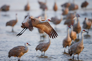 Every morning during its migration stop on the Platte River in central Nebraska, the Sandhill Crane takes flight and leaves the river in search of sustenance from the nearby fields. - Nebraska Photograph