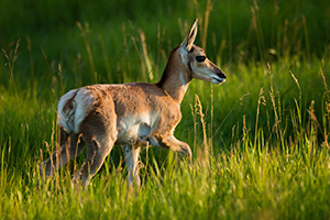 A young pronghorn pauses from his playing in the morning sun in Custer State Park, South Dakota. - South Dakota Wildlife Photograph