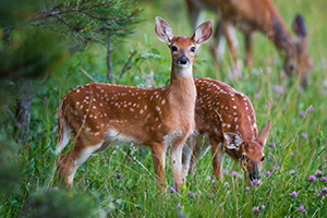 Young fawns quietly graze on green grass near the border of a forest in Custer State Park, South Dakota. - South Dakota Wildlife Photograph