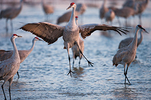 A graceful Sandhill Crane dances to impress potential mates, to establish territorial claims or to confirm potentially decades long bonding.  Sandhill Cranes mate for life and the dancing is all part of the ritual. - Nebraska Photograph