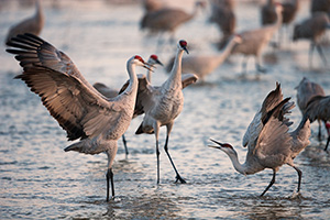 Two Sandhill Cranes Dance on the Platte River in central Nebraska on a cool April dawn. - Nebraska Photograph