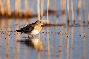 On a cool April evening, a yellowlegs scurries across the marsh at Little Salt Fork Marsh in Lancaster County. - Nebraska Wildlife Photograph