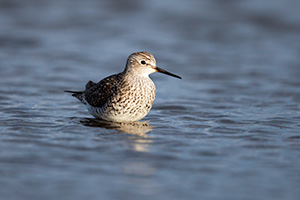 A wildlife photograph of a yellowlegs wading in a Marsh in eastern Nebraska. - Nebraska Photograph