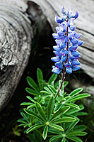 A lupine grows in an alpine area near the summit of Mt. Washburn in Yellowstone National Park. - Wyoming Landscape Photograph