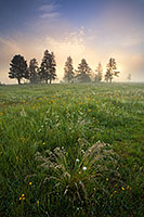 On a cool morning on Elk Meadow in Yellowstone National Park, the sun backlights the trees through a dense fog while verdant grasses fill the foreground. - Wyoming Landscape Photograph