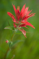 Indian Paintbrush grows in a meadow in Yellowstone National Park, the red color contrasting with the green of the grass. - Wyoming Landscape Photograph