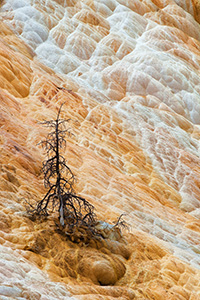 The remains of a tree below the terraces at Mammoth Hot Springs. - Wyoming Landscape Photograph