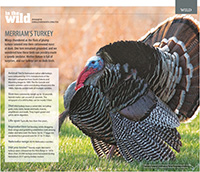 Nebraska Life May-June 2018 Turkey Feature.  Contributed Photograph. - Tear Sheet Photograph